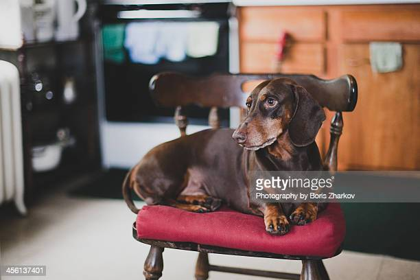 brown dachshund lying on a chair - americas next top dog stock pictures, royalty-free photos & images