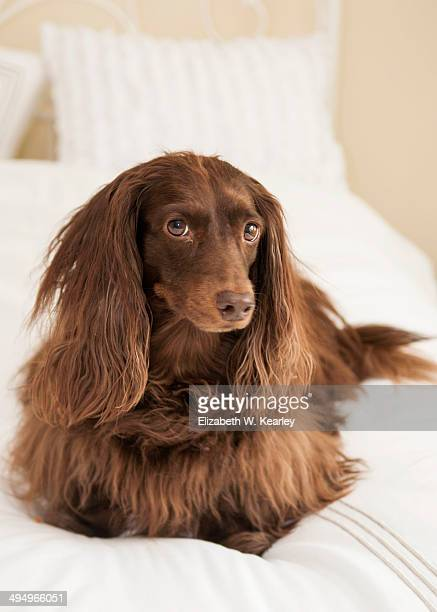 brown dachshund on a bed - long haired dachshund stock photos and pictures