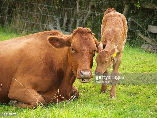 A brown dairy cow with its calf in a field