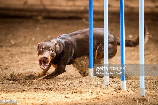 Brown Dog Barking While Running On Field