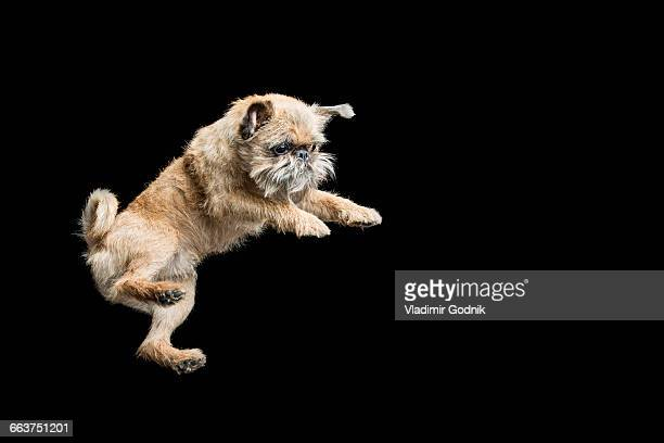 Brown dog jumping against black background