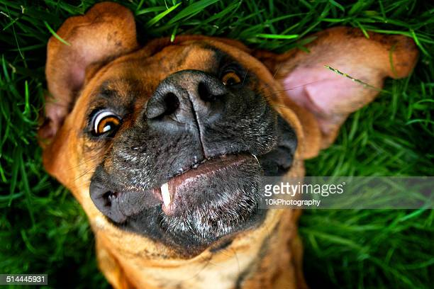 Brown dog laying playfully in grass