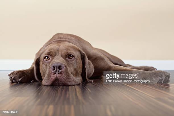 Brown Dog Lying on a Floor