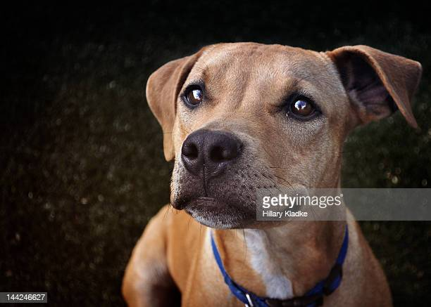Brown dog on dark background