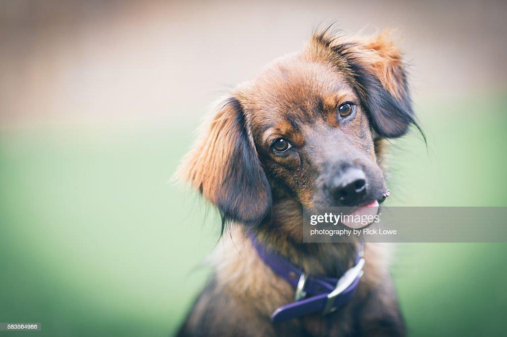 Brown dog : Stock Photo