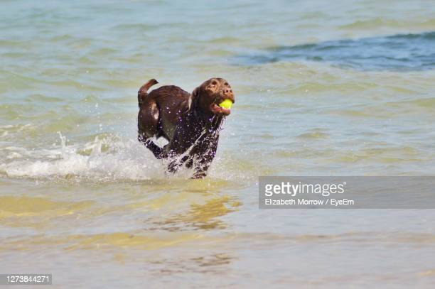 brown dog running in the sea with a ball. - truro cornwall stock pictures, royalty-free photos & images