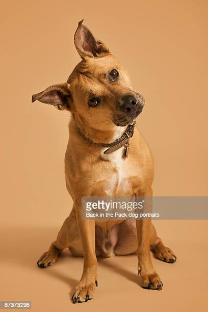 brown dog sitting legs apart tilted head - head cocked stock pictures, royalty-free photos & images