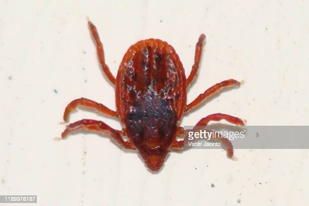 brown dog tick (rhipicephalus sanguineus) - dog tick stock pictures, royalty-free photos & images