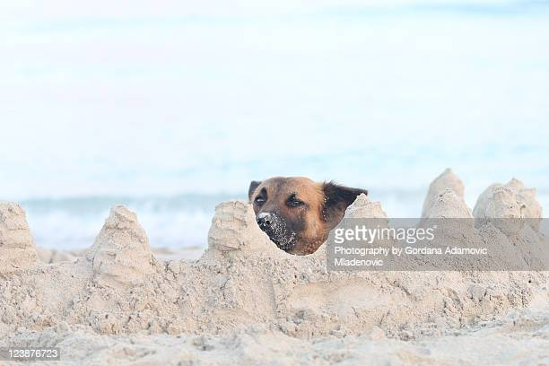 Brown dog with his nose covered in sand