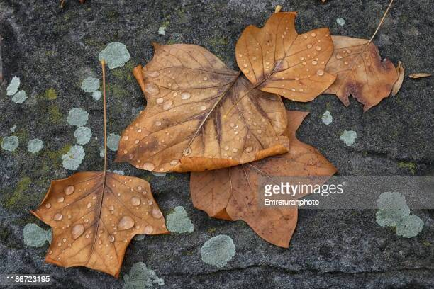 brown dry leaves with raindrops on the ground. - emreturanphoto stock pictures, royalty-free photos & images