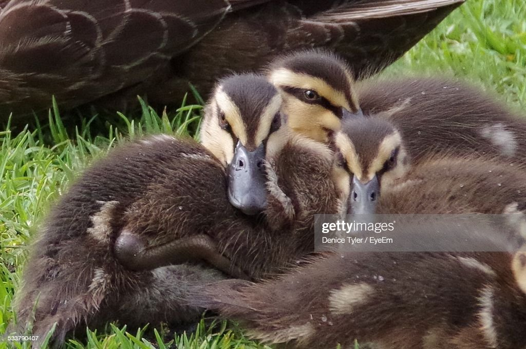 Brown Ducklings On Grassy Field : Foto stock