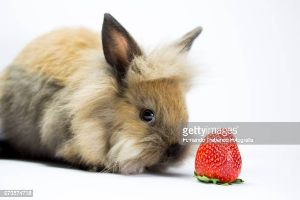 brown dwarf rabbit smell and eat a strawberry fruit because you are hungry, Oryctolagus cuniculus domesticus
