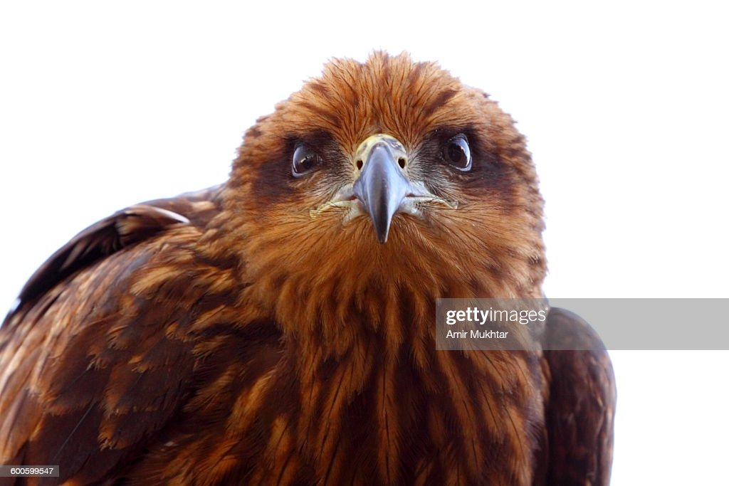 Brown Eagle In Murree : Stock Photo