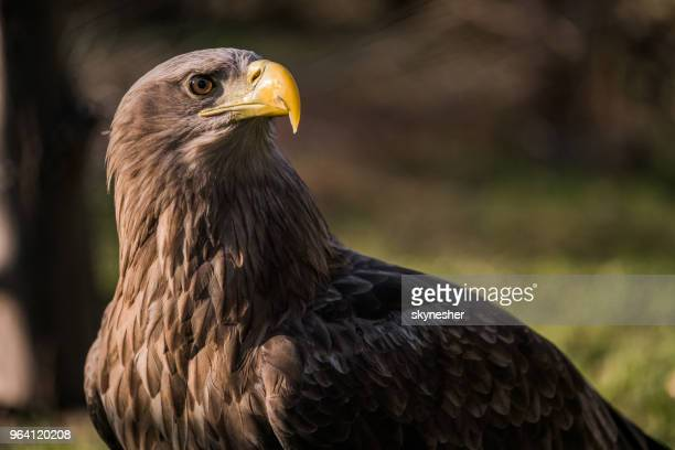 brown eagle with yellow beak in nature. - aquila reale foto e immagini stock