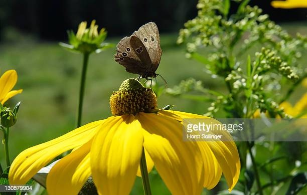 Brown endemic butterfly sibbing from nectar of rudbeckia nitida flower