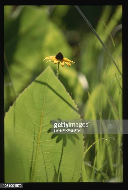 A brown eyed susan grows with compass plant and prairie dock in a restored prairie at Aldo Leopold Memorial Reserve