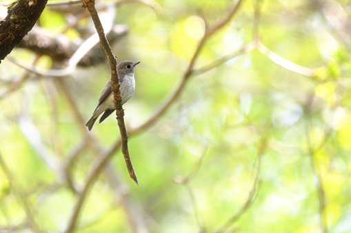 A Brown Flycatcher - gettyimageskorea