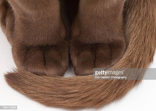brown furry cat's paws - burmese cat stock pictures, royalty-free photos & images