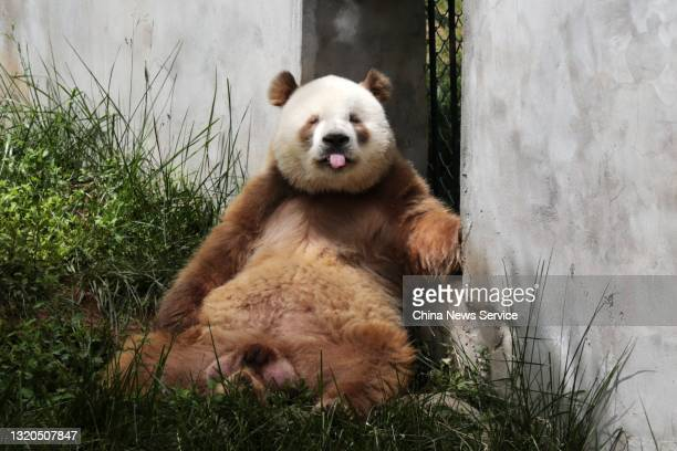 Brown giant panda named 'Qi Zai' is seen at Qinling Sibao Science Park on the opening day on May 28, 2021 in Zhouzhi County, Xi'an City, Shaanxi...