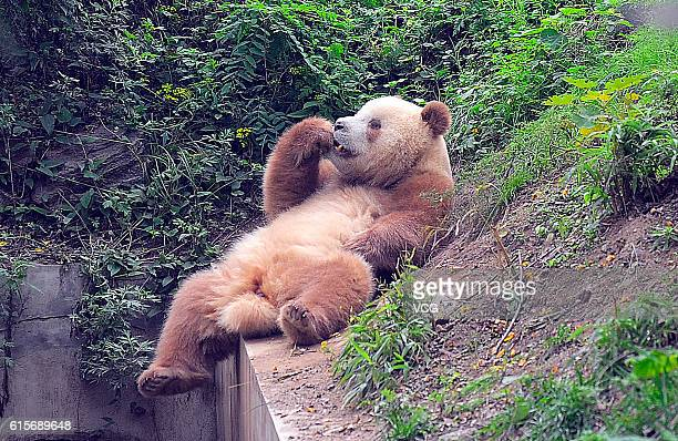 XI'AN CHINA SEPTEMBER 23 Brown giant panda Qizai eats at Shaaxi Rare Wild Animals Rescuing and Raising Research Center on September 23 2012 in Xi'an...