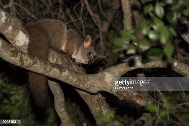 brown greater galago (otolemur crassicaudatus) climbing in tree at night, kosi forest, isimangaliso wetland park, kwazulu-natal, south africa - bush baby stock photos and pictures