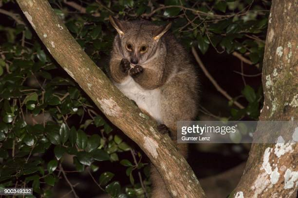 brown greater galago (otolemur crassicaudatus) sitting feeding in the tree at night, kosi forest, isimangaliso wetland park, kwazulu-natal, south africa - bush baby stock photos and pictures