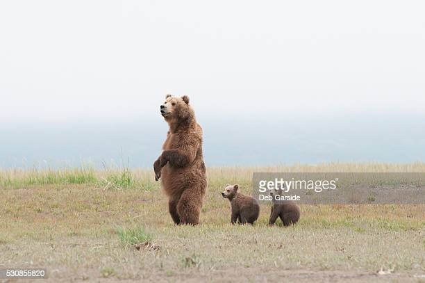A brown grizzly bear (ursus arctos horribilis) standing up with cubs, alaska, united states of america