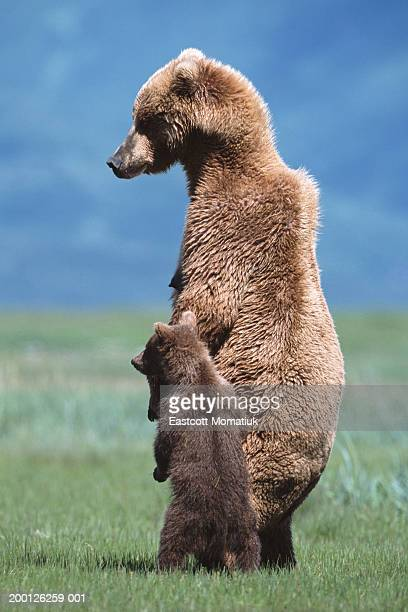 Brown grizzly bear (Ursus arctos) standing with young cub