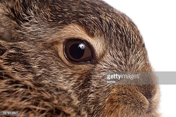 brown hare baby - lagomorphs stock pictures, royalty-free photos & images