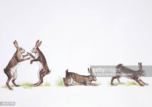 Brown Hare illustration