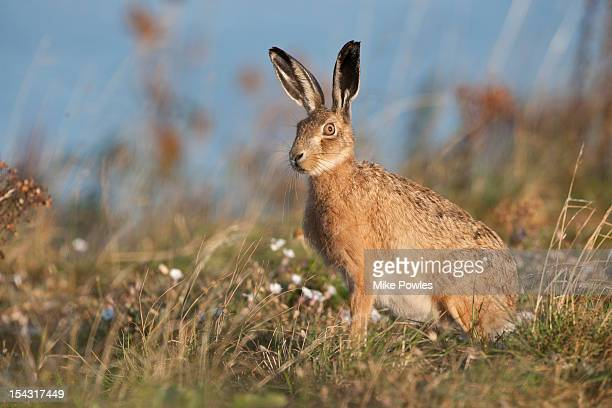 brown hare in breckland habitat norfolk - brown hare stock pictures, royalty-free photos & images