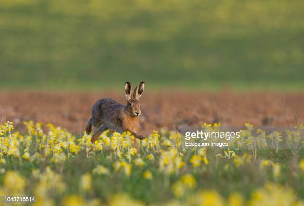 Brown Hare Lepus europaeus among Oxlips Norfolk spring