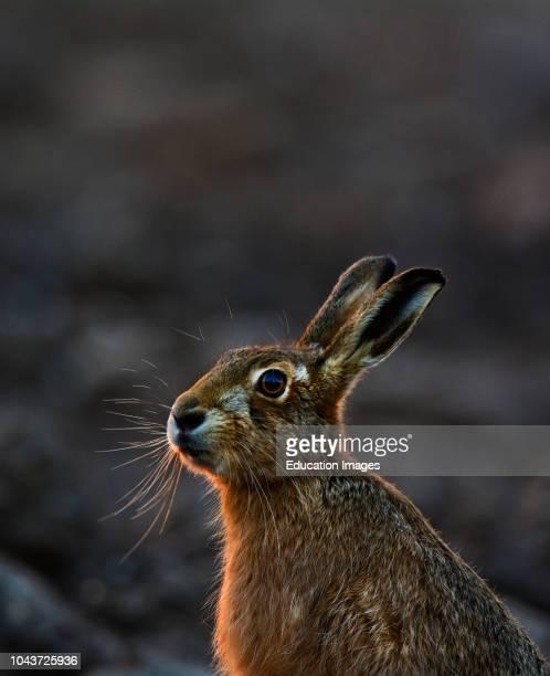 Brown Hare Lepus europaeus Holt Norfolk