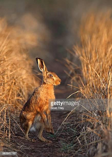 Brown hare lepus europaeus in morning sunlight