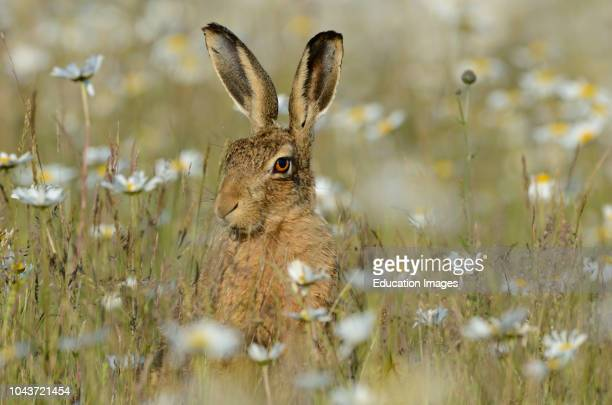 Brown Hare Lepus europaeus in Oxeye Daisies Norfolk summer