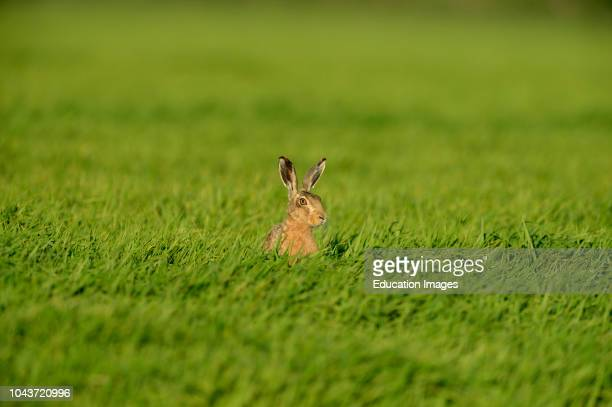 Brown Hare Lepus europaeus Norfolk