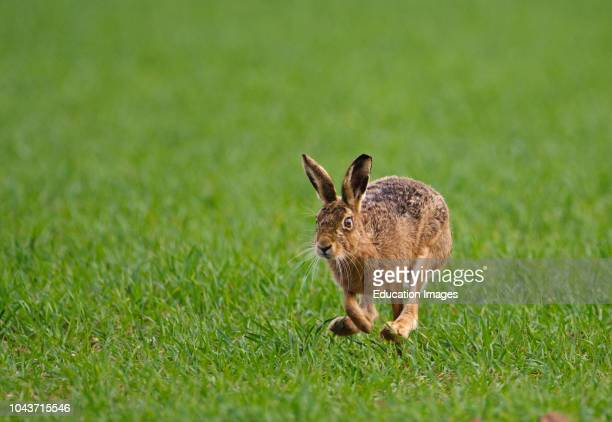 Brown Hare Lepus europaeus Norfolk spring