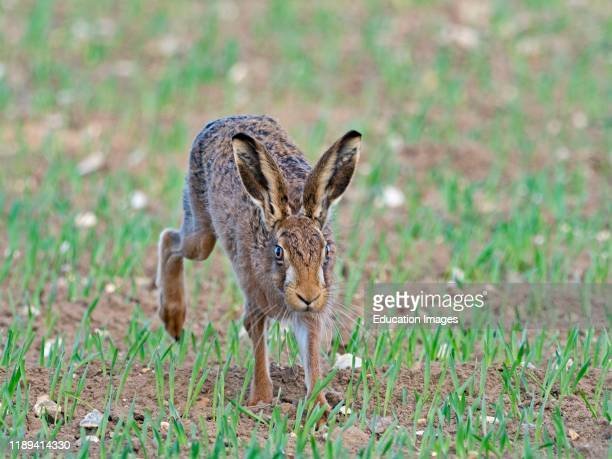 Brown Hare Lepus europaeus North Norfolk UK early spring
