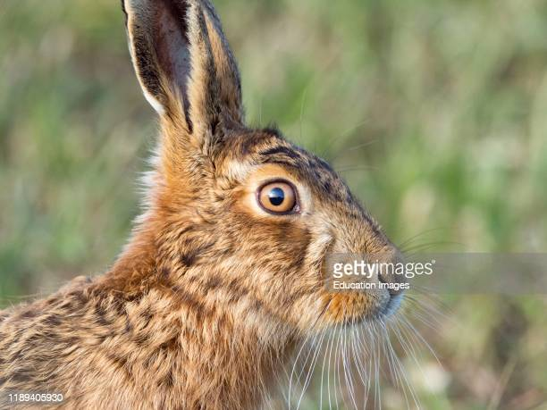 Brown Hare Lepus europaeus North Norfolk UK