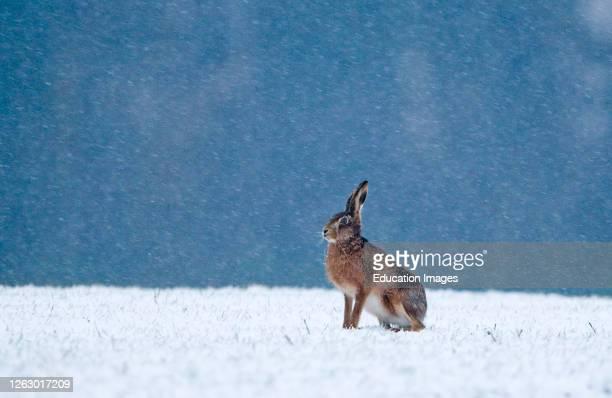 Brown Hare, Lepus europaeus, on winter wheat field Norfolk, UK.