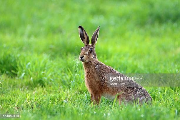 brown hare lepus europaeus - lepre comune foto e immagini stock