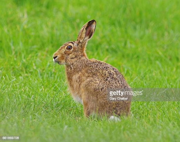brown hare [lepus europaeus] - hare stock photos and pictures
