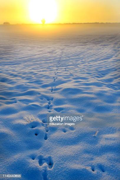 Brown Hare Lepus europaeus tracks in the snow Norfolk