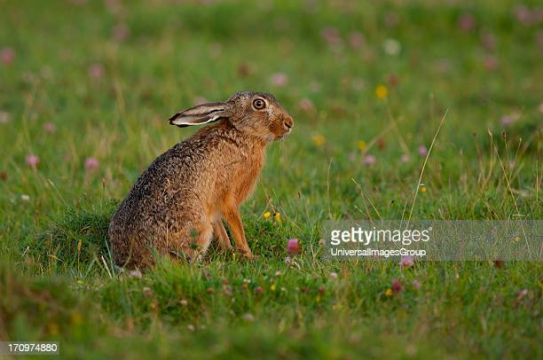 Brown Hare Lepus Europaeus Zealand Denmark