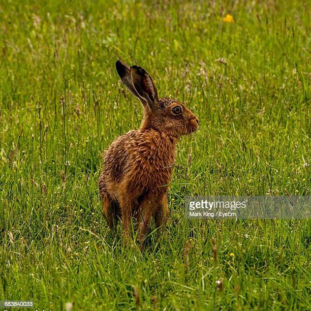brown hare on grassy field - hare stock photos and pictures