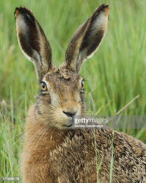 brown hare (lepus europaeus) - brown hare stock pictures, royalty-free photos & images