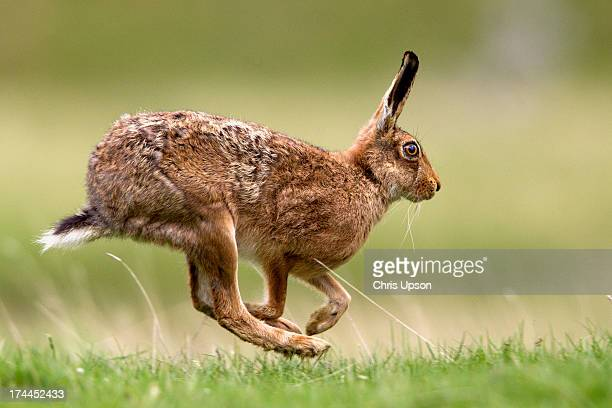 brown hare - brown hare stock pictures, royalty-free photos & images