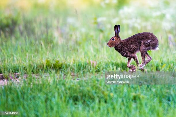 brown hare running across field - brown hare stock pictures, royalty-free photos & images