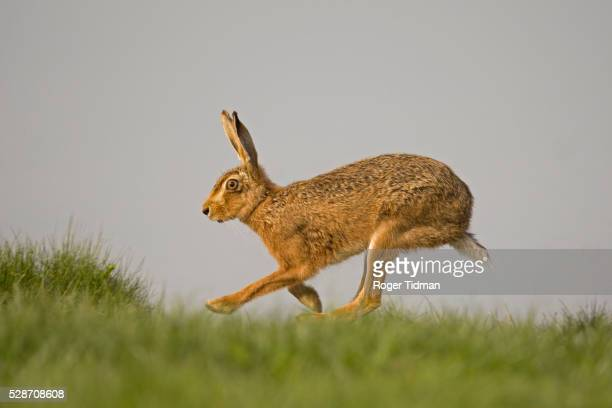 brown hare running - brown hare stock pictures, royalty-free photos & images
