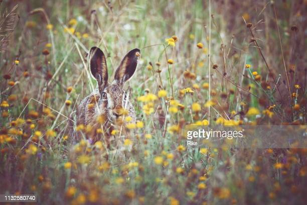 a brown hare sits on the spring meadow - animali pasquali foto e immagini stock